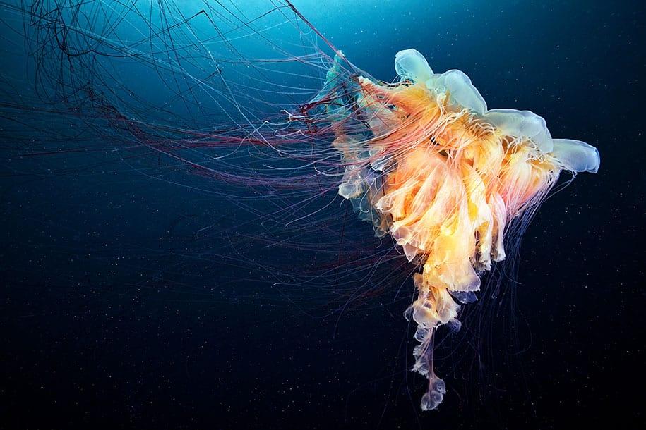 jellyfish-underwater-photography-alexander-semenov-9