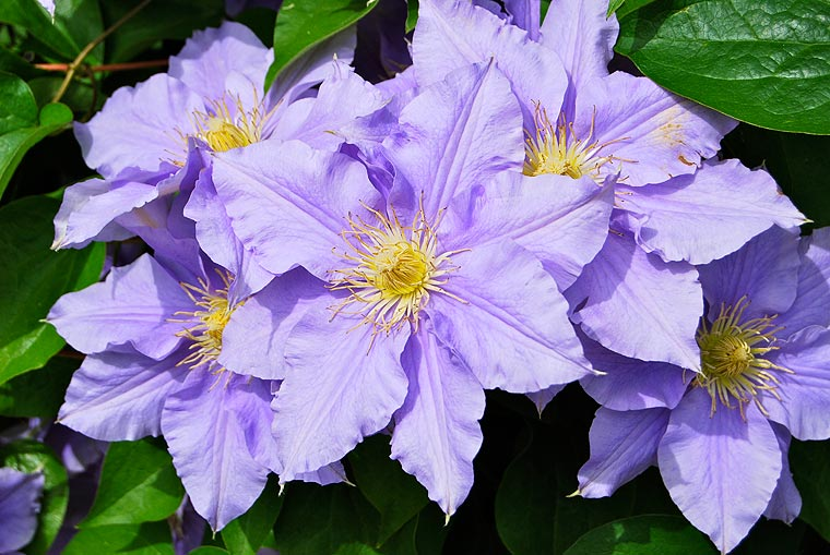 Summer Plants - Durand's clematis will flower from early summer to early autumn