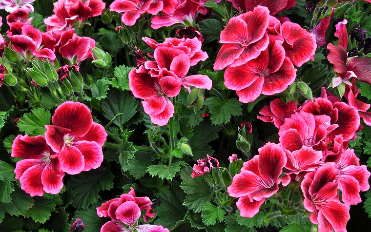 Geraniums are a popular choice as they are both colourful and provide a lovely scent for your home.