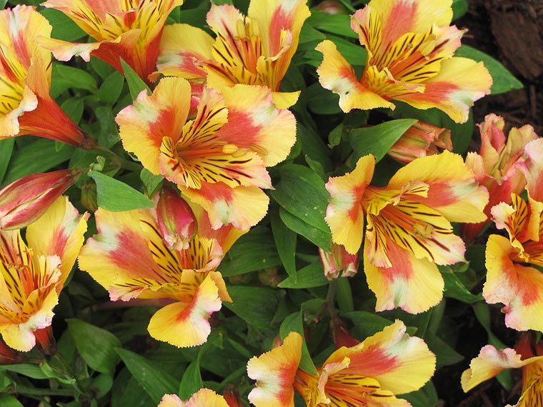 These particular Peruvian Lily plants need a lot of space