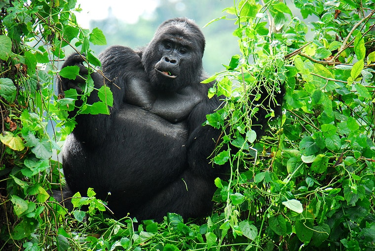 Bwindi Forest and Mountain Gorillas