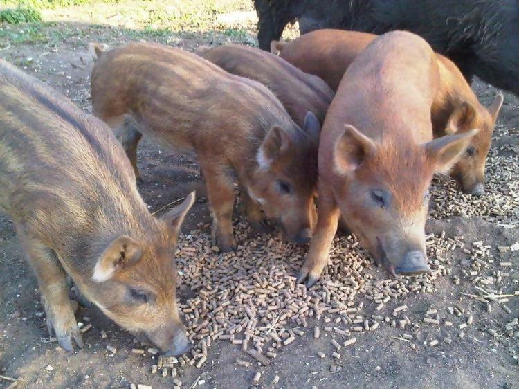 ranger-pigs