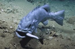 Macintosh HD:Users:brittanyloeffler:Downloads:Upwork:Shark:wreckfish-eating-shark.png
